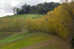 Row of poplar trees in the Dandenong Ranges Stock Photos