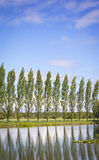 Row of Poplar Trees Stock Image