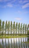 Row of Poplar Trees Stock Image