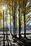 A Row of Poplar Trees. By the lake threw long shadows in the sunlight Royalty Free Stock Photography