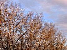 Row of poplar trees in late fall Stock Photography