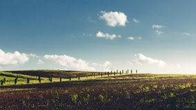 Row Of Poplar Trees With Vineyards In Foreground Stock Photography