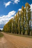 A row of Poplars Stock Image