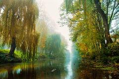 A row of poplars in the dense fog at dawn Royalty Free Stock Images