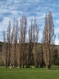 Row of poplars Stock Photography