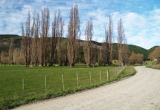 Row of poplars Royalty Free Stock Photography
