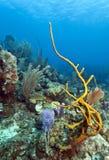 Row Pore Rope Sponge (Aplysina cauliformis) Royalty Free Stock Photos