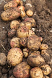 Row of Potatoes Stock Photography