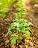 Row of potatoes in a garden Stock Photos