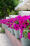Row of Potted Flowers. Row of potted pink flowers Stock Photography