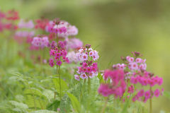 Row Of Primula Candelabra flowers Royalty Free Stock Photography