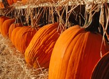 Row of Pumpkins Royalty Free Stock Image