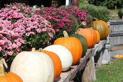 Row of pumpkins. Row of colorful pumpkins with purple mums on wooden table Stock Photos