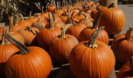 A row of pumpkins for sale. At a local farmers market Royalty Free Stock Images