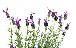 Row of Purple French Lavender Flowers on Stems Royalty Free Stock Photo