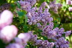 Purple lilac trees catch the sunshine. A row of purple lilac trees and their flowers looking beautiful in the sunlight Royalty Free Stock Photography