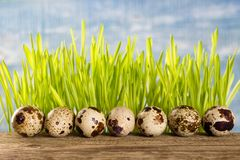 Row of quail eggs on wooden table stock image