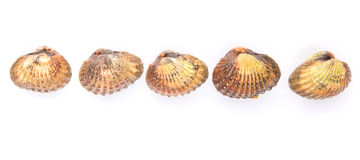 A Row of Raw Cockle III. A row of raw, fresh cockle over white background Royalty Free Stock Image