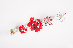 Row of red flowers in glass jars, cycle from bloom to wither, on white background Stock Photo