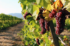 Row of Red Grapes. Row of ripe, red grapes ready for harvest Royalty Free Stock Photos
