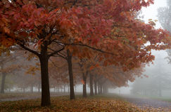 A row of red leaved trees in the park on a foggy morning. Park is almost empty as a chill autumn morning is breaking through royalty free stock photos