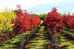 A row of red leaved trees. A picture of a row of trees with red and yellow fall color leaves on them Stock Images