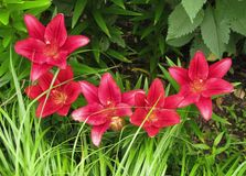 Row of Red Lilies Amidst Grasses royalty free stock image