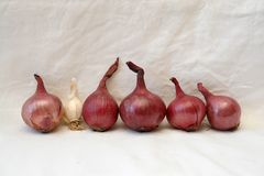 Row of red onions with a small garlic Royalty Free Stock Images