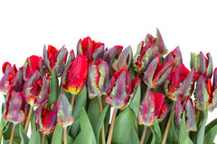 Row of  red parrot tulips Royalty Free Stock Photo