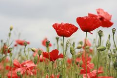 Row of Red Poppies. A row of Red Poppies and seeding heads in poppy field located in Southern England Stock Image