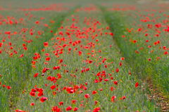Row of red poppies on a field of wheat Royalty Free Stock Images