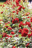 Row of red roses Stock Photography