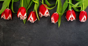 Row of red tulips against a dark background with space for the text. Festive flower background Stock Photo
