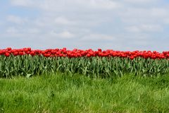 Red tulips grow in field in West Friesland, Netherlands. A row of Red tulips grow close together in a field  and the sky above the tulips is blue with soft Stock Image