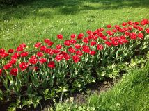 Row of red tulips surrounded by green grass in the sunlight stock photos