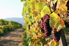 Row of Red Wine Grapes. Row of ripe, red wine grapes ready for harvest Royalty Free Stock Photo