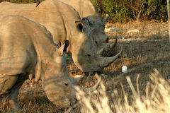 3 in a row. These 3 rhinos was aside the road on the way to Berg en Dal in the Kruger Park Stock Photography