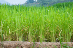 Row of rice field Stock Photography