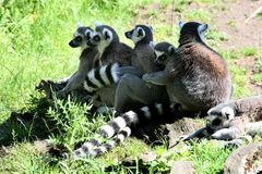 A row of Ring-tailed Lemur monkeys. A little train of six ring-tailed lemur monkeys (Lemur catta), well-known for her long, black and white ringed tail, in the Royalty Free Stock Image