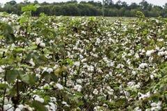 Row of ripe cotton prior to harvest stock photos