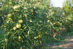 Row of Ripening Green Tomatoes. Home grown organically in garden Stock Photography