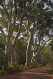 A row of river red gums Stock Photo