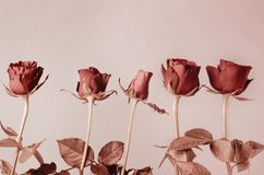 Row of Roses in Muted Copper Red Hues. A row of five budding stem roses with leaves in monochromatic copper reds royalty free stock photo