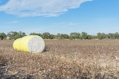 Close-up cotton bales on harvested field in Texas, USA. Row of round bales of harvested fluffy cotton wrapped in yellow plastic under cloud blue sky. Captured royalty free stock photography