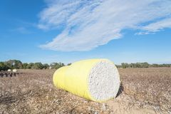 Close-up cotton bales on harvested field in Texas, USA. Row of round bales of harvested fluffy cotton wrapped in yellow plastic under cloud blue sky. Captured stock photos