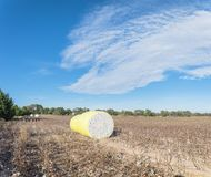 Close-up cotton bales on harvested field in Texas, USA. Row of round bales of harvested fluffy cotton wrapped in yellow plastic under cloud blue sky. Captured royalty free stock photos