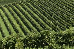 Row after Row. Rows of grapevines seem to go on forever stock photo