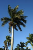 A row of royal palms Stock Images