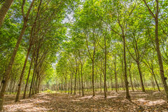 Row of rubber tree farm in HDR filter Stock Image