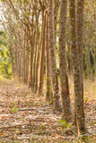Row of rubber tree Royalty Free Stock Photo